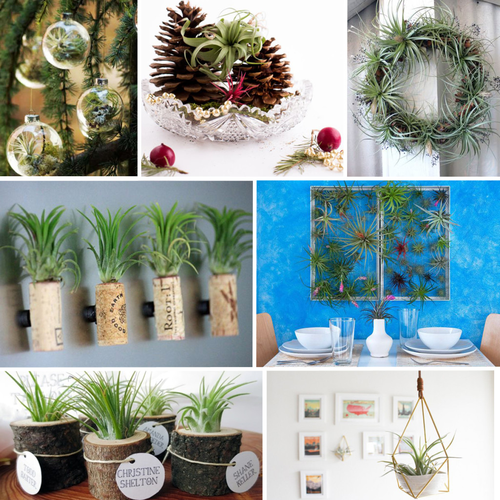 Air Plant Inspiration - Holiday and Everyday