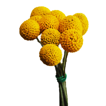 Craspedia Billy Balls Yellow Flower