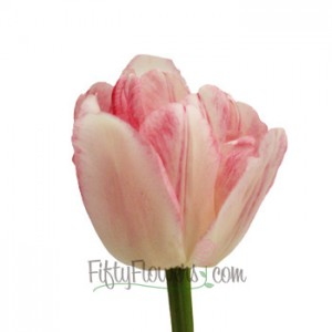 Light Pink Brushstrokes Painted Tulips