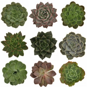 Succulents Assorted Package