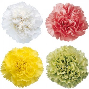 Mother's Day Mixed Color Carnations