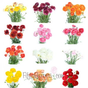 Assorted Colors Ranunculus Flower