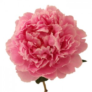 Pink Peony Flower May Delivery