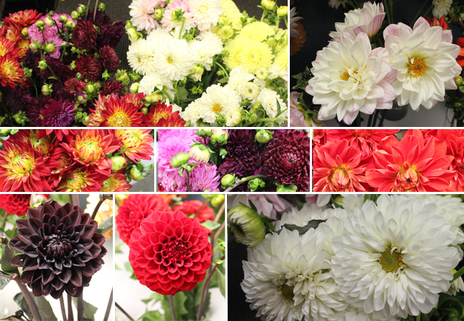 Testing Dahlias at the Office!